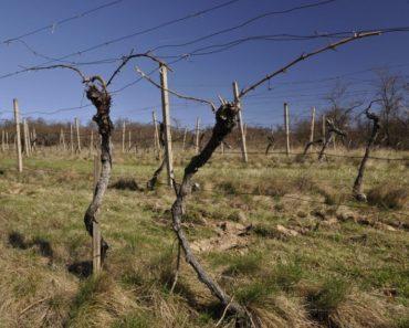 Ukončená dražba vinice v okrese Znojmo. Pozemek byl vydražen za vyvolávací cenu 173.334 Kč.